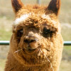 A friendly alpaca waiting to greet you.